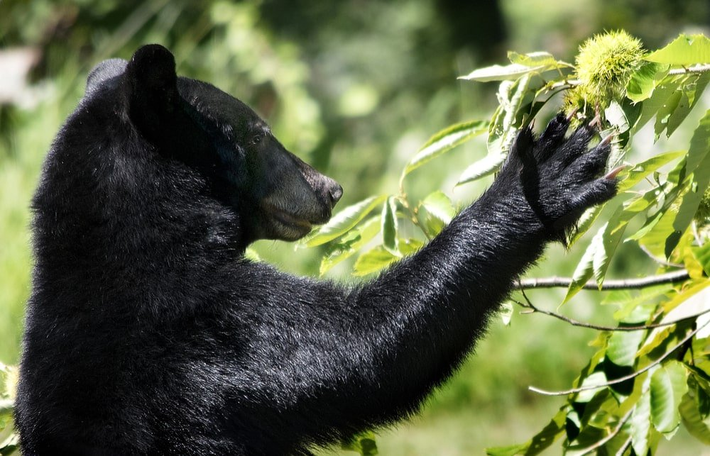 A close look at an American black bear picking chestnuts.