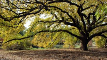 A look at the mature American Elm Tree.