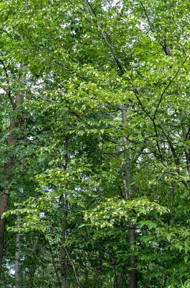 Leaves of an American hophornbeam tree.