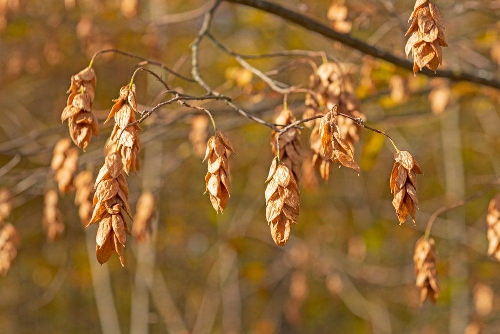 American hophornbeam seeds