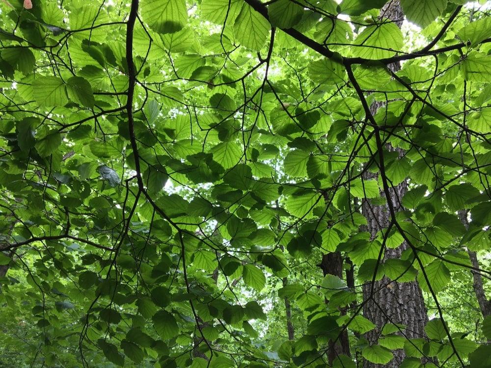 Spring leaves of an American hornbeam tree.