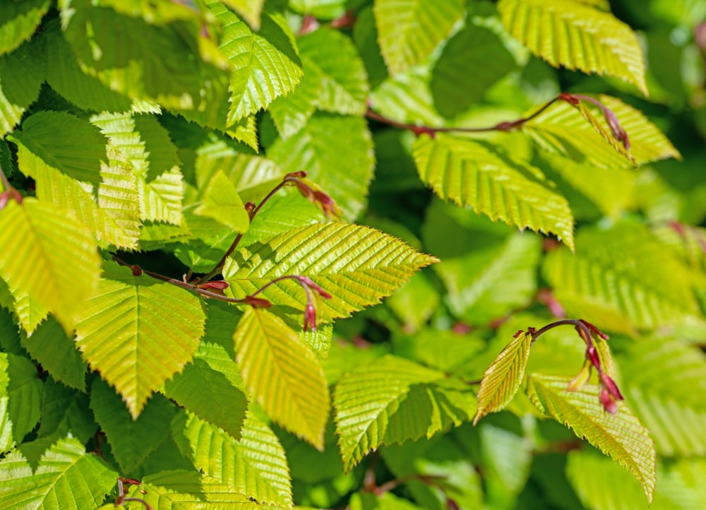 Young leaves of hornbeam in spring.