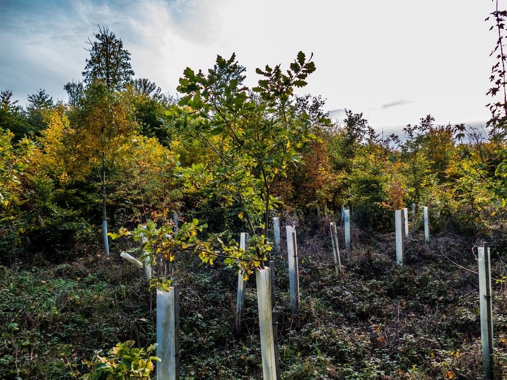 Replanting of young hornbeam trees.