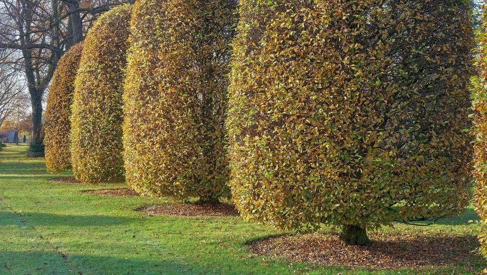 Manicured hornbeam trees.