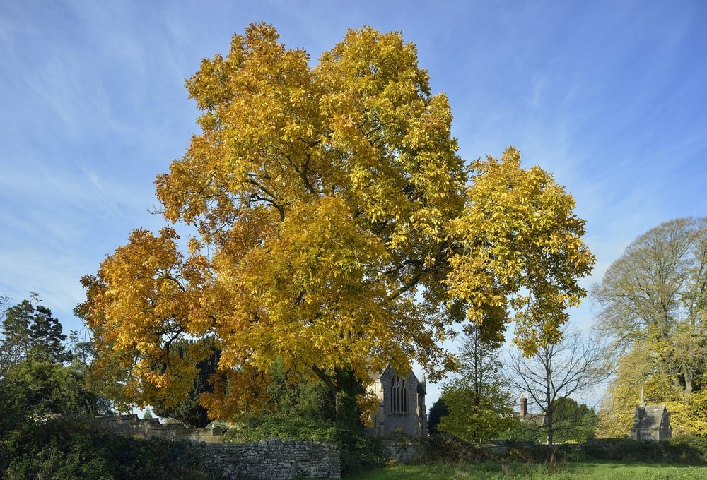 Southern shagbark hickory tree in autumn colors.