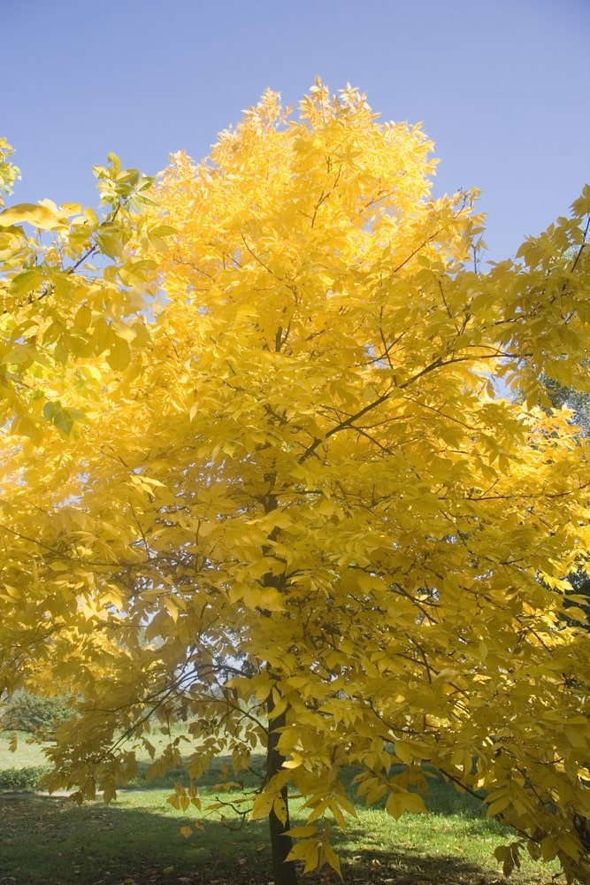 Pignut hickory tree during autumn.