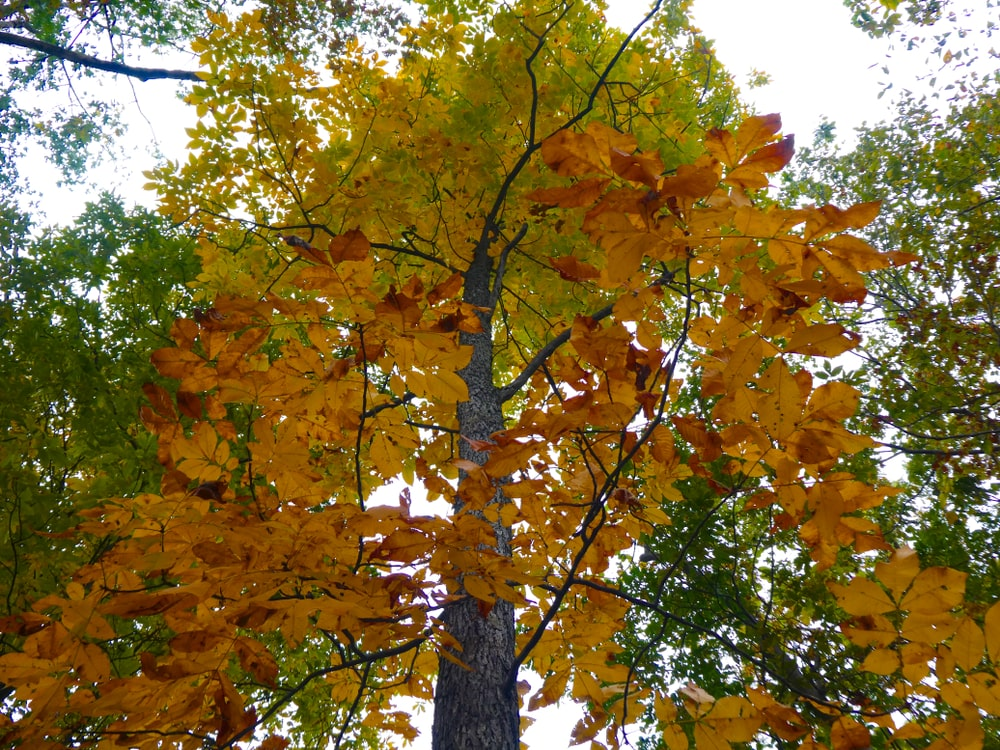 Mockernut hickory tree during fall.