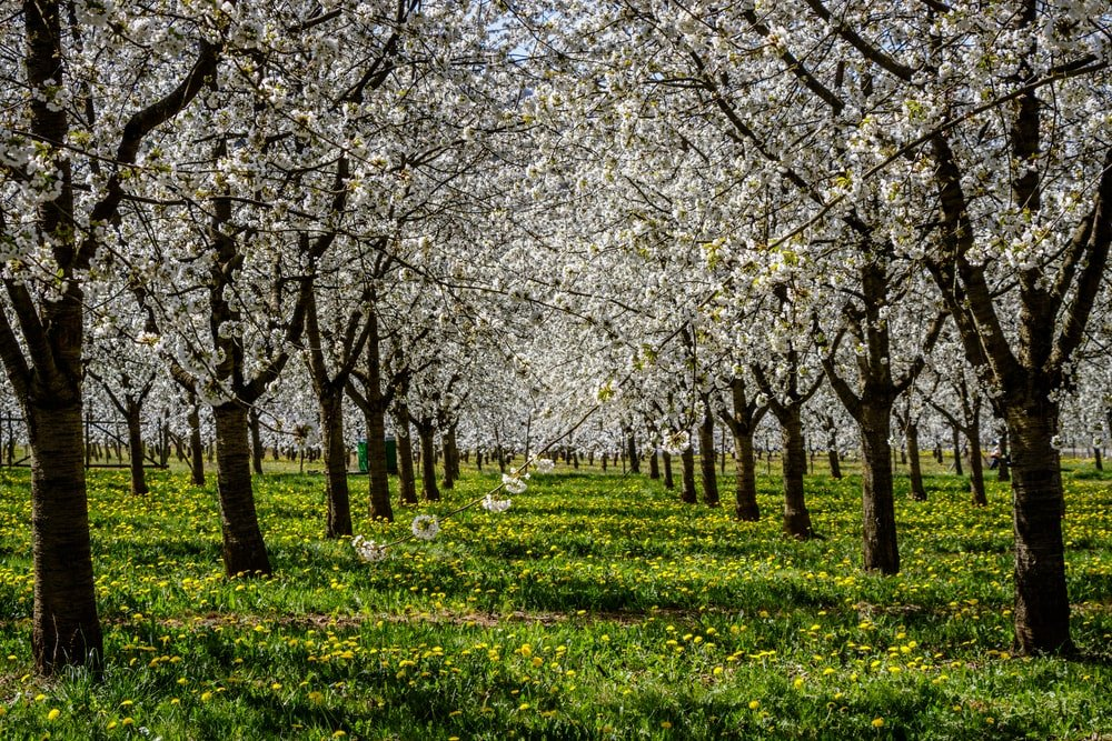 A meadow full of black cherry trees blooming.