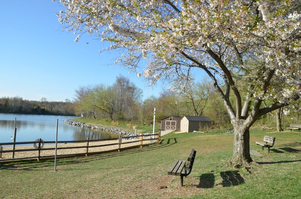 A black cherry tree at the park by the lake.