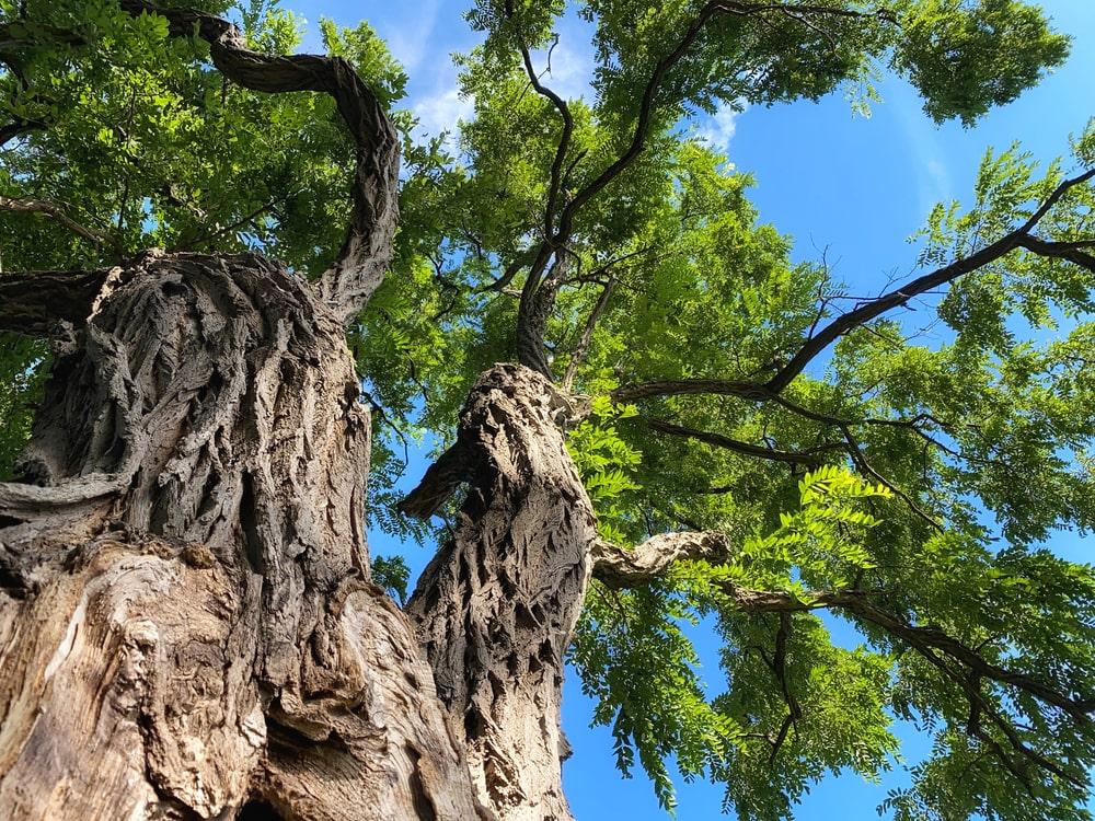 Closeup of a Black Locust tree.