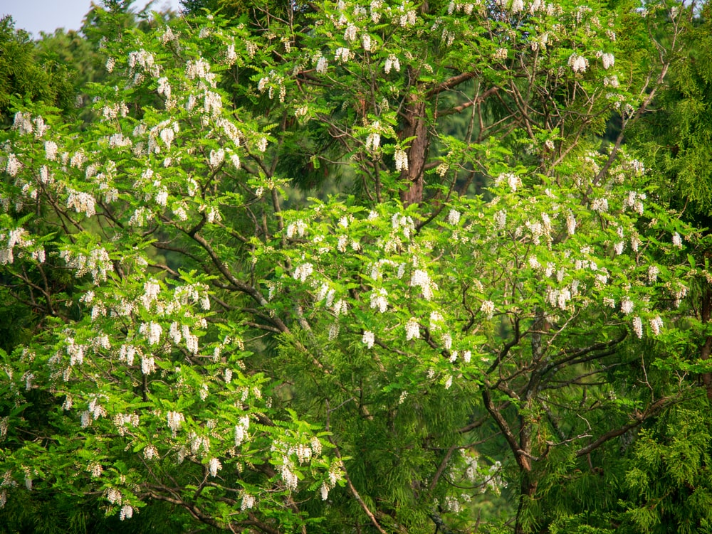 Blossoms of a black locust during summer.