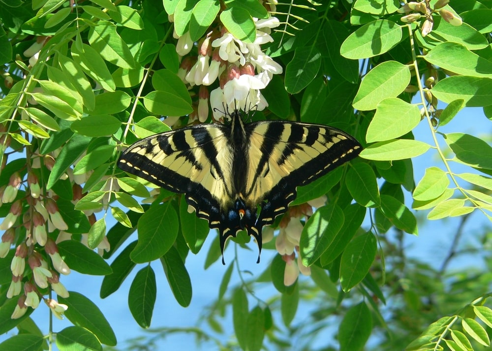 Swallowtail butterfly on a Black Locust tree flower.