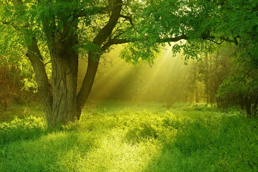 Sunlit foggy forest with black locust tree.