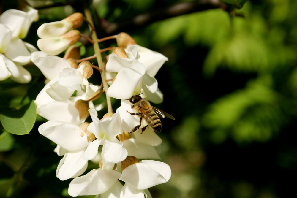 A bee getting nectar from Black Locust flowers.