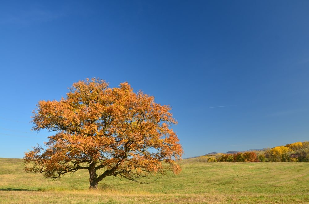Black oak tree with autumn foliage in an expansive field.