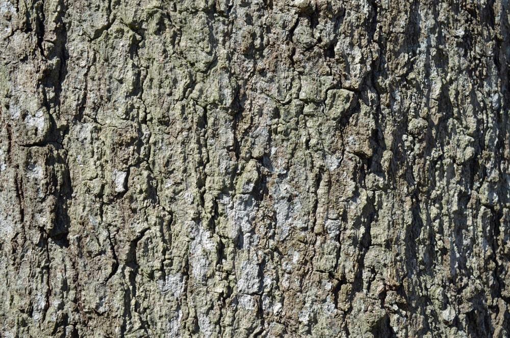 Closeup of a black oak bark.