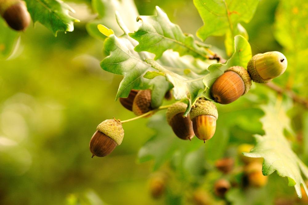 Acorn fruits of a black oak tree.