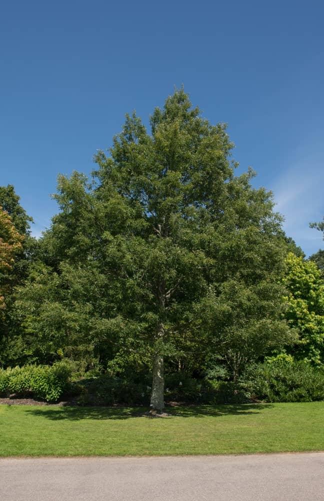 Turkey oak tree