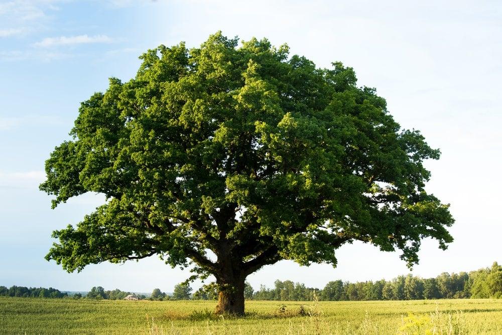 Black oak tree in the middle of a lush field.