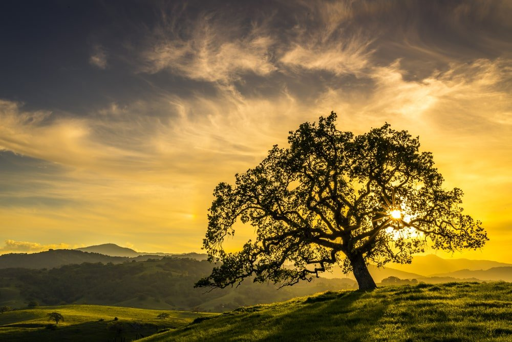 Oak tree on a hill during sunset.