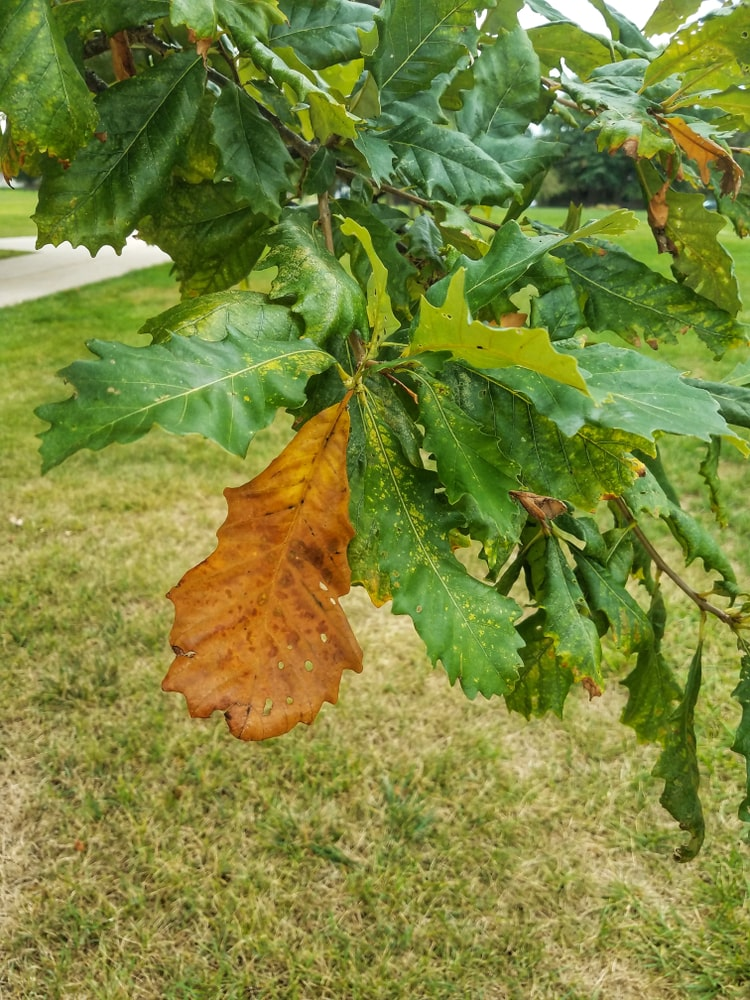 Chestnut oak leaves starting to wilt.