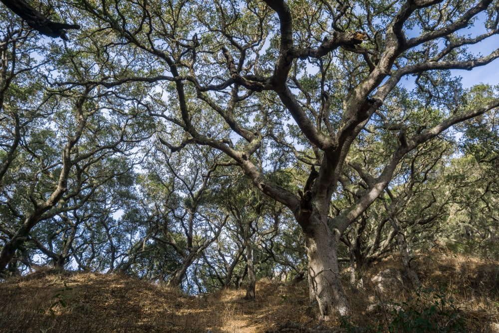 Coastal live oak trees
