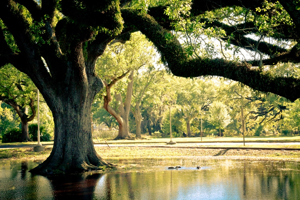 Live oak tree near a pond.