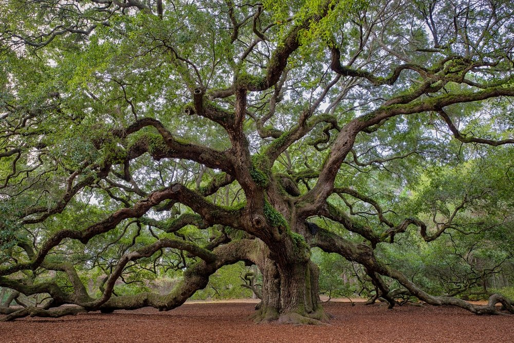 Old Southern live oak tree