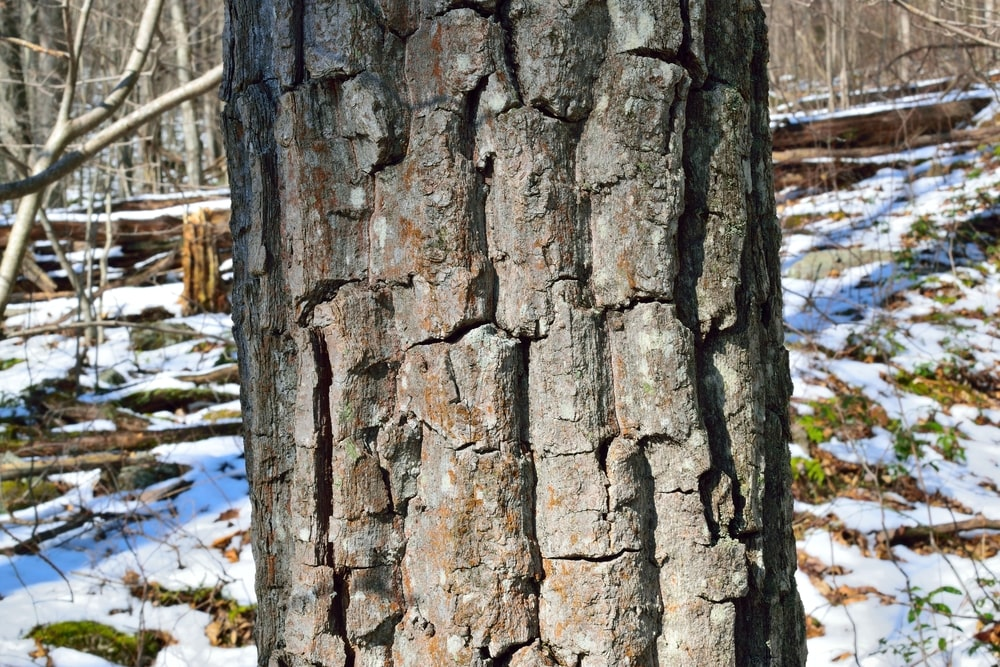 Closeup of the bark of a chestnut oak tree.