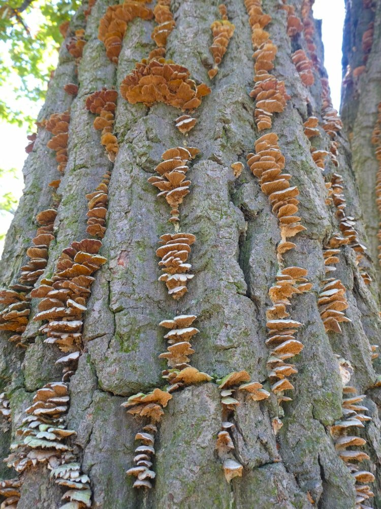 Orange and white polypores on the bark of a chestnut oak tree.