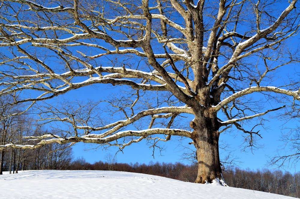 Large white oak tree on a snow.