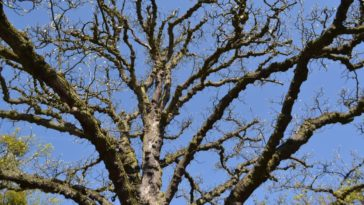 A close look at the gnarled branches of a cucumber tree.