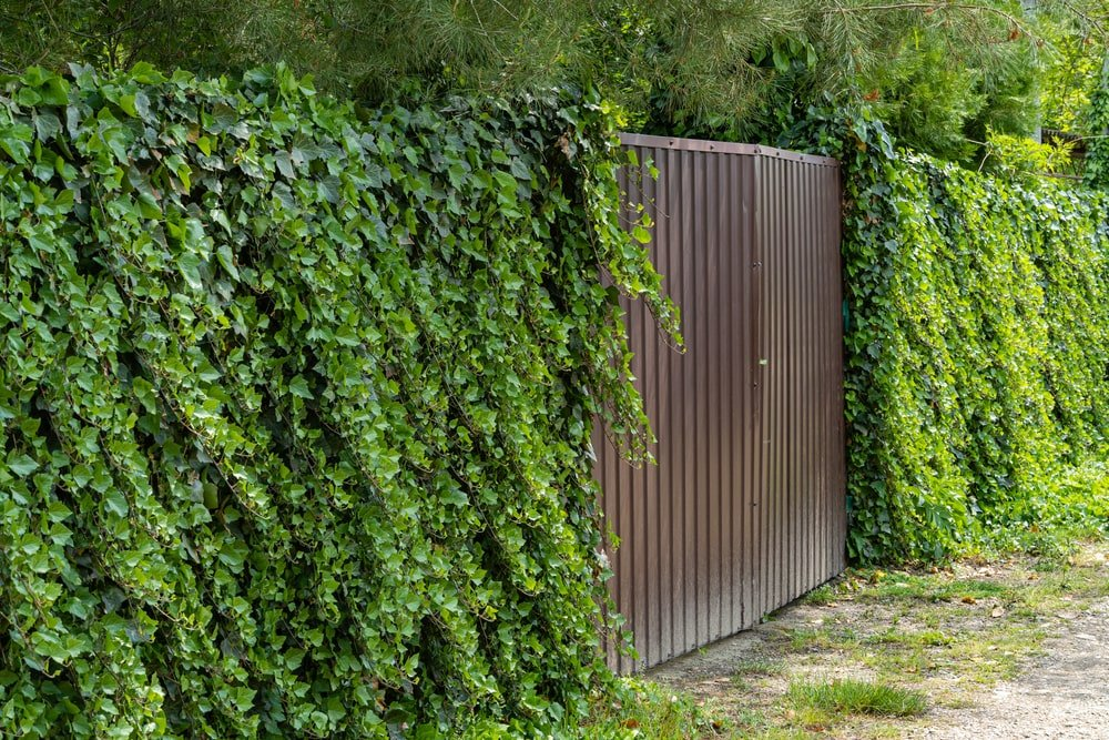 A close look at the outer gate and outer wall of the house that is filled with creeping ivy vines.