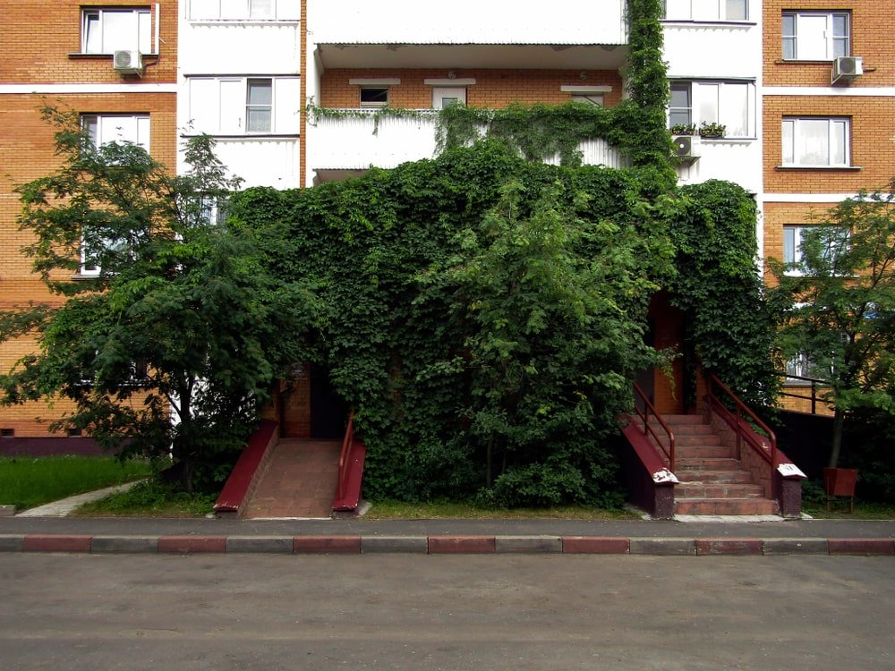 The front exterior of a house filled with Russian Ivy.
