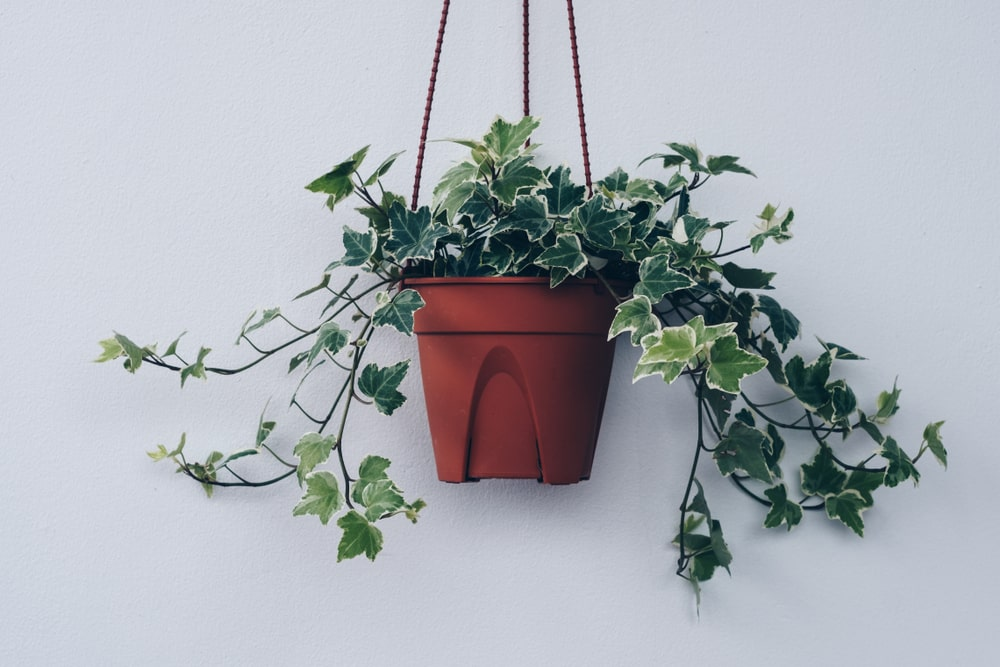 A healthy ivy plant on a hanging pot.