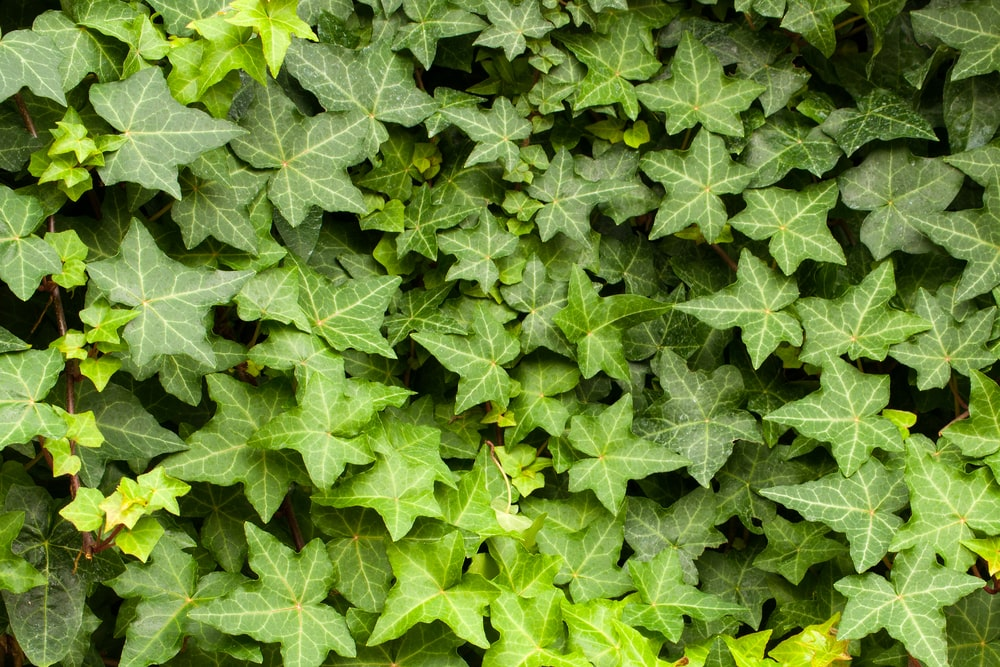 A close look at the leaves of an English Ivy.