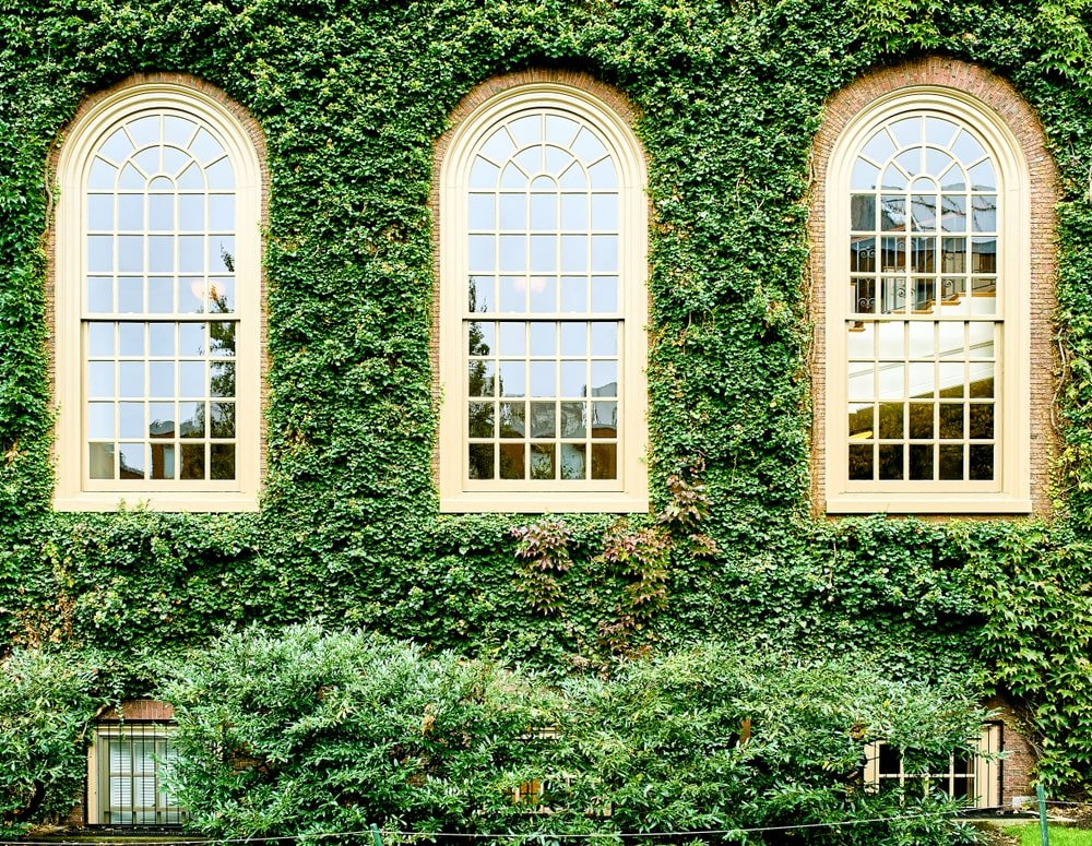 Brick exterior walls adorned by blankets of ivy vines.