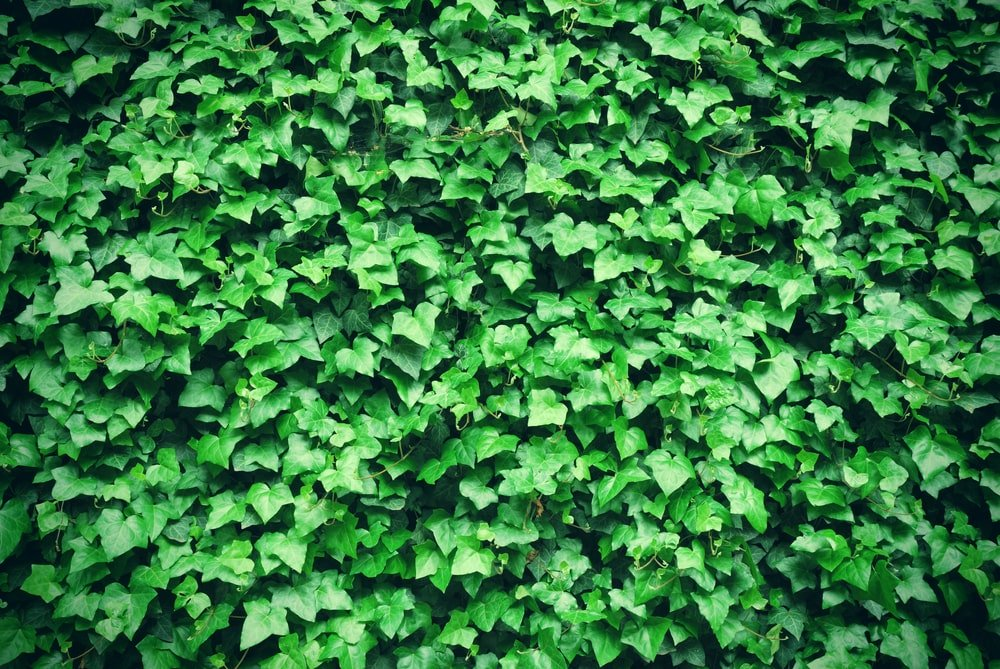 An outer wall filled with thick ivy vines.