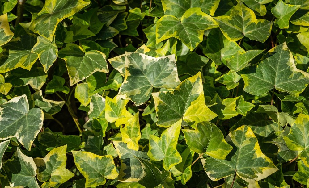A look at the gold-patched leaves of a Goldchild Ivy.