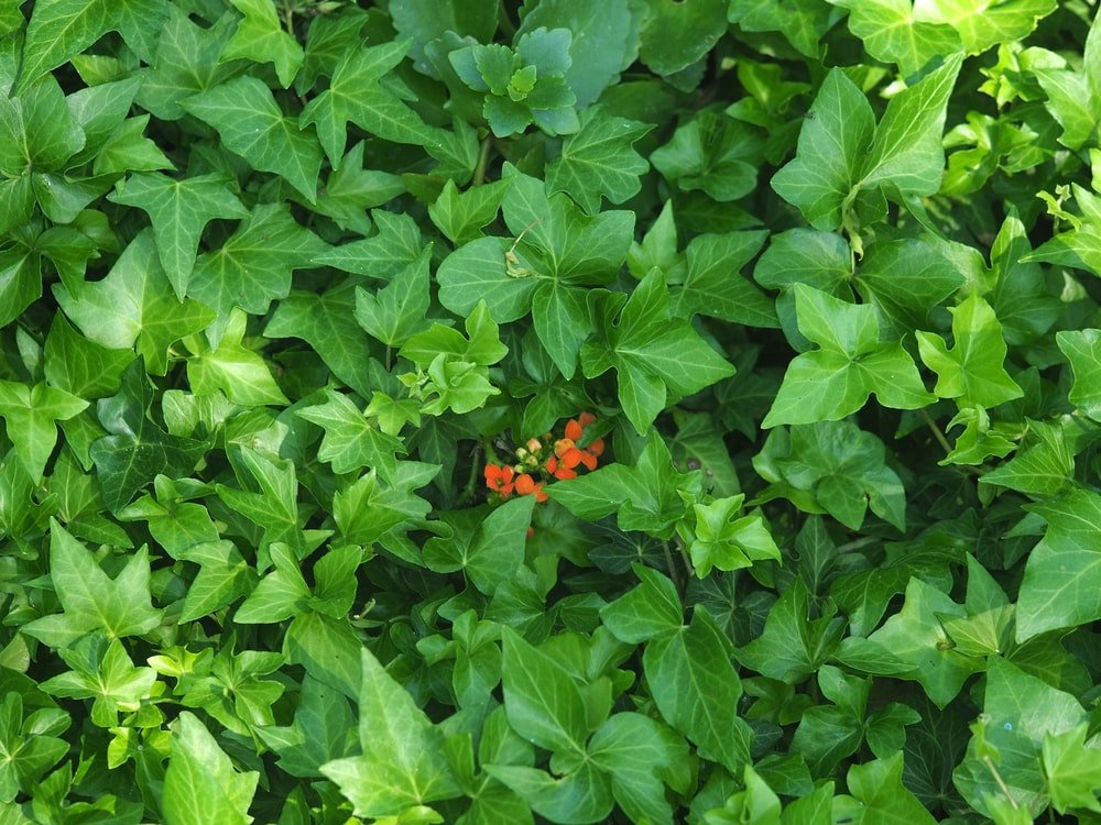A look at the leaves of an Ivalace Ivy.