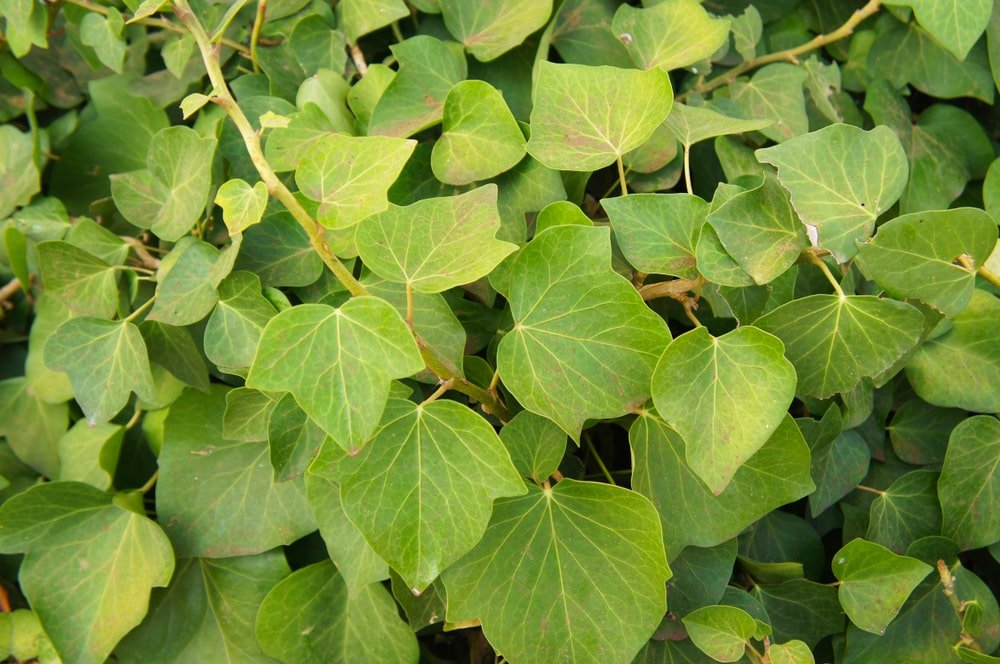 A close look at the leaves of an Algerian Ivy.