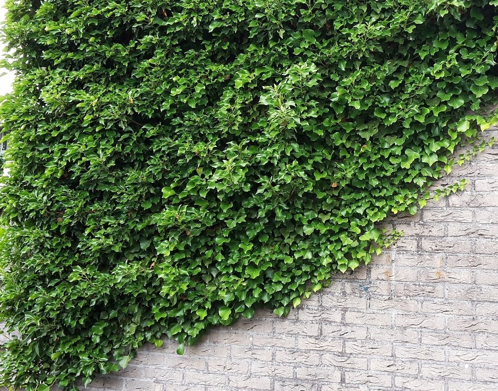A large wall with Irish Ivy Vines.