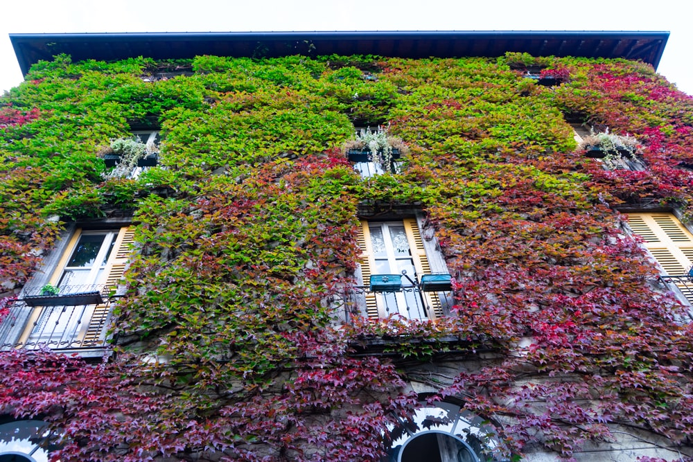 A house exterior with walls adorned by Boston Ivy.