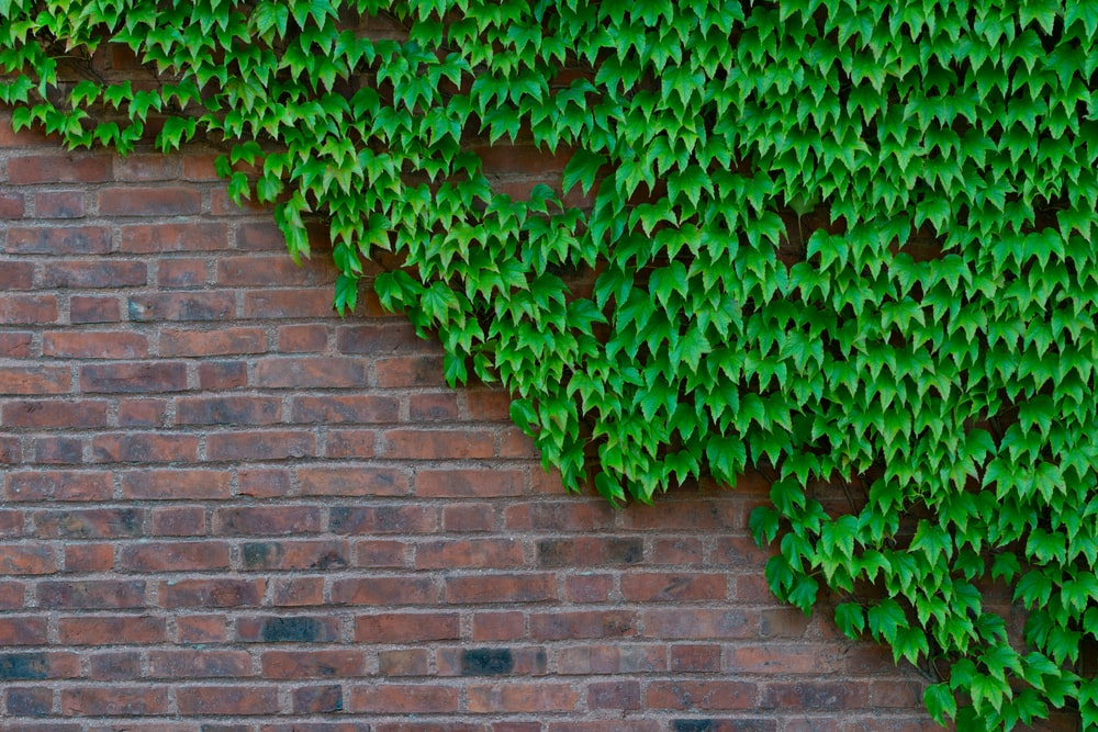 A bunch of Japanese Ivy growing on a red brick wall.