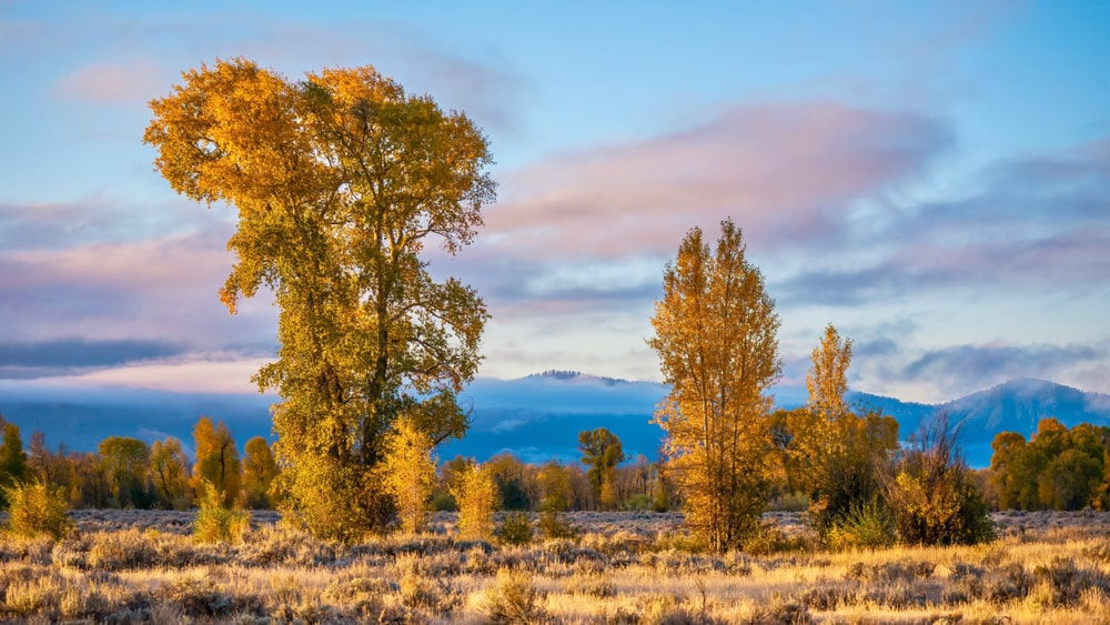 A stunning autumn scene featuring Eastern Cottonwood trees with yellow foliage.