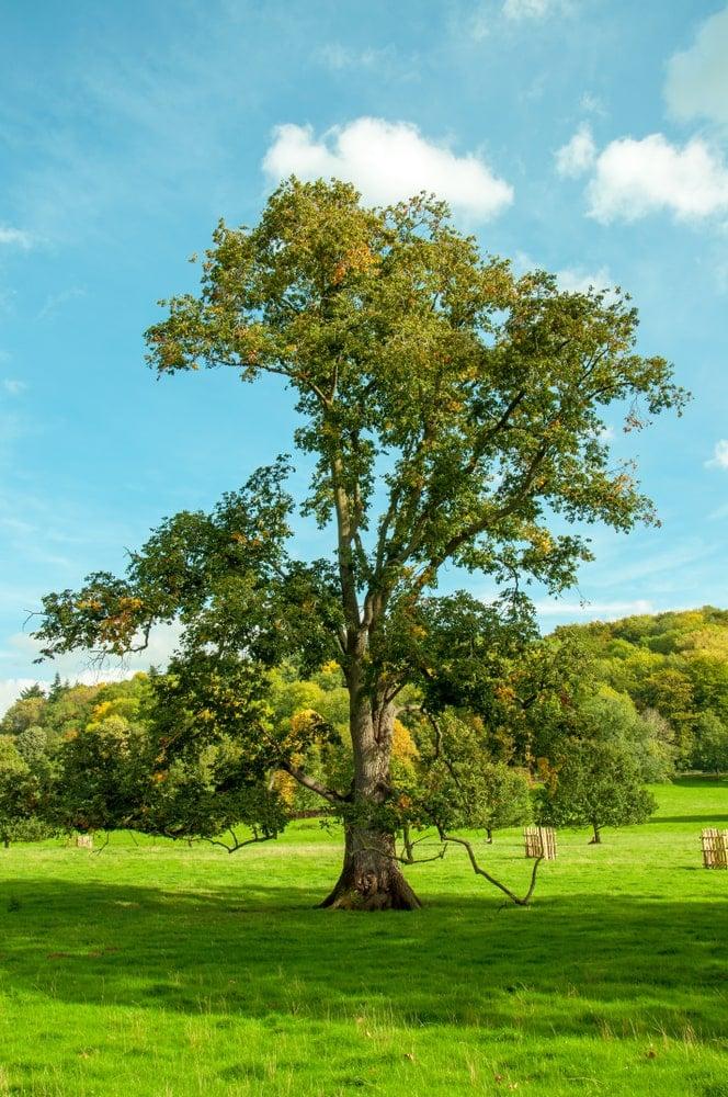 A tall English Elm tree.