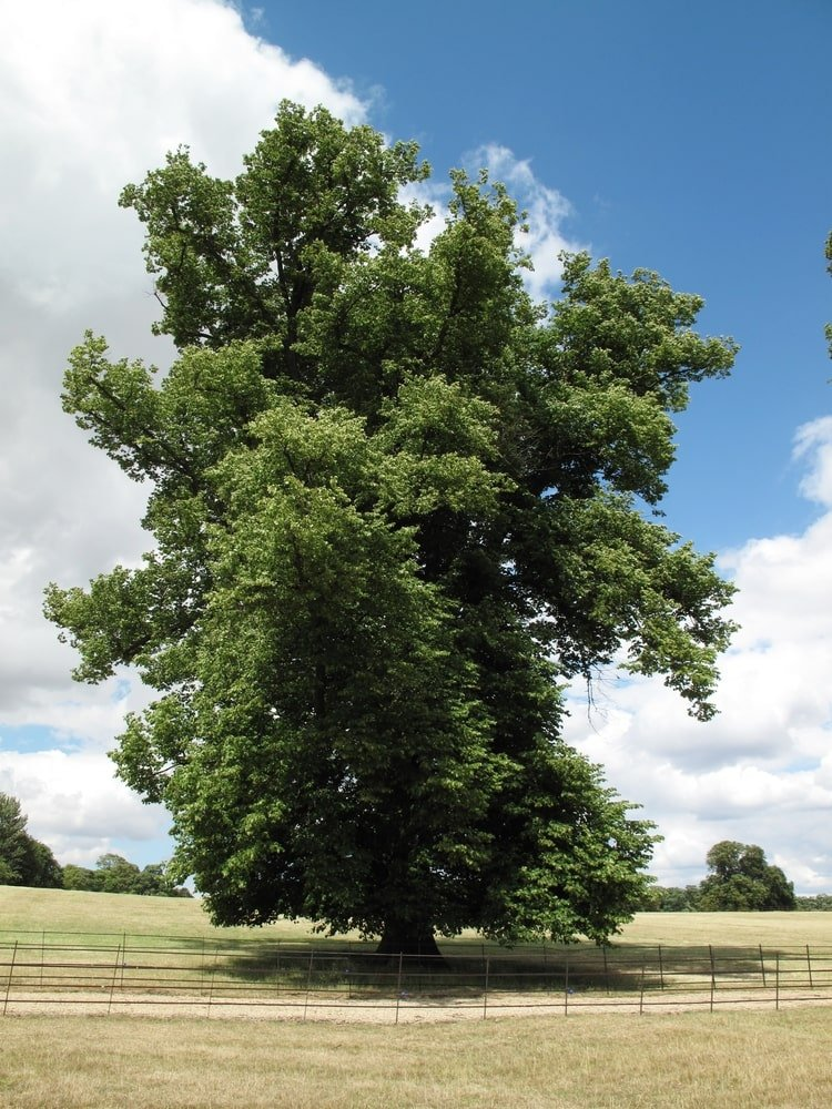 A great old Elm tree standing alone in a private parkland.