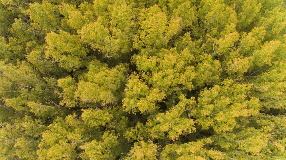 Bird's eye view of English Elm trees during autumn.