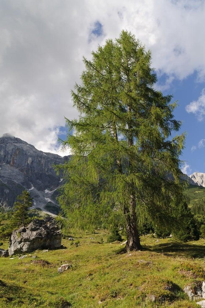 A tall European larch on alpine pasture.