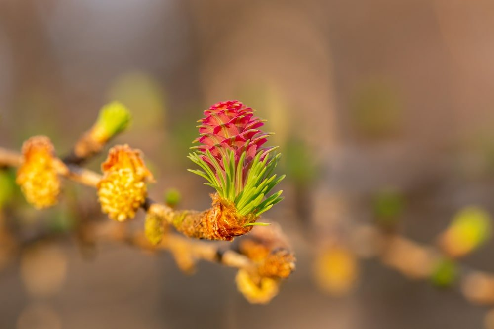 Closeup of a European larch twig with male and female flowers.